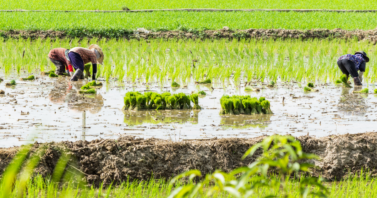 27 percent paddy sowing across the country