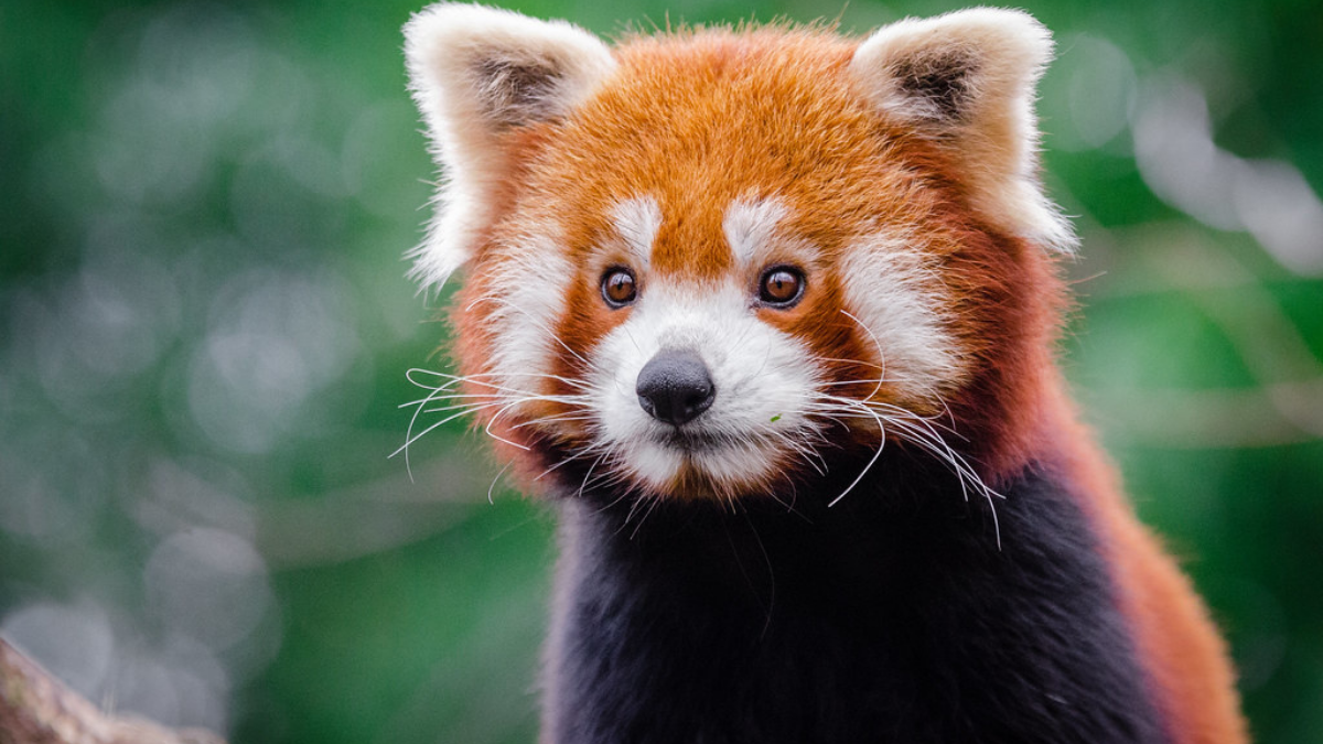 Little panda disappeared: Duisburg Zoo is looking for Jang