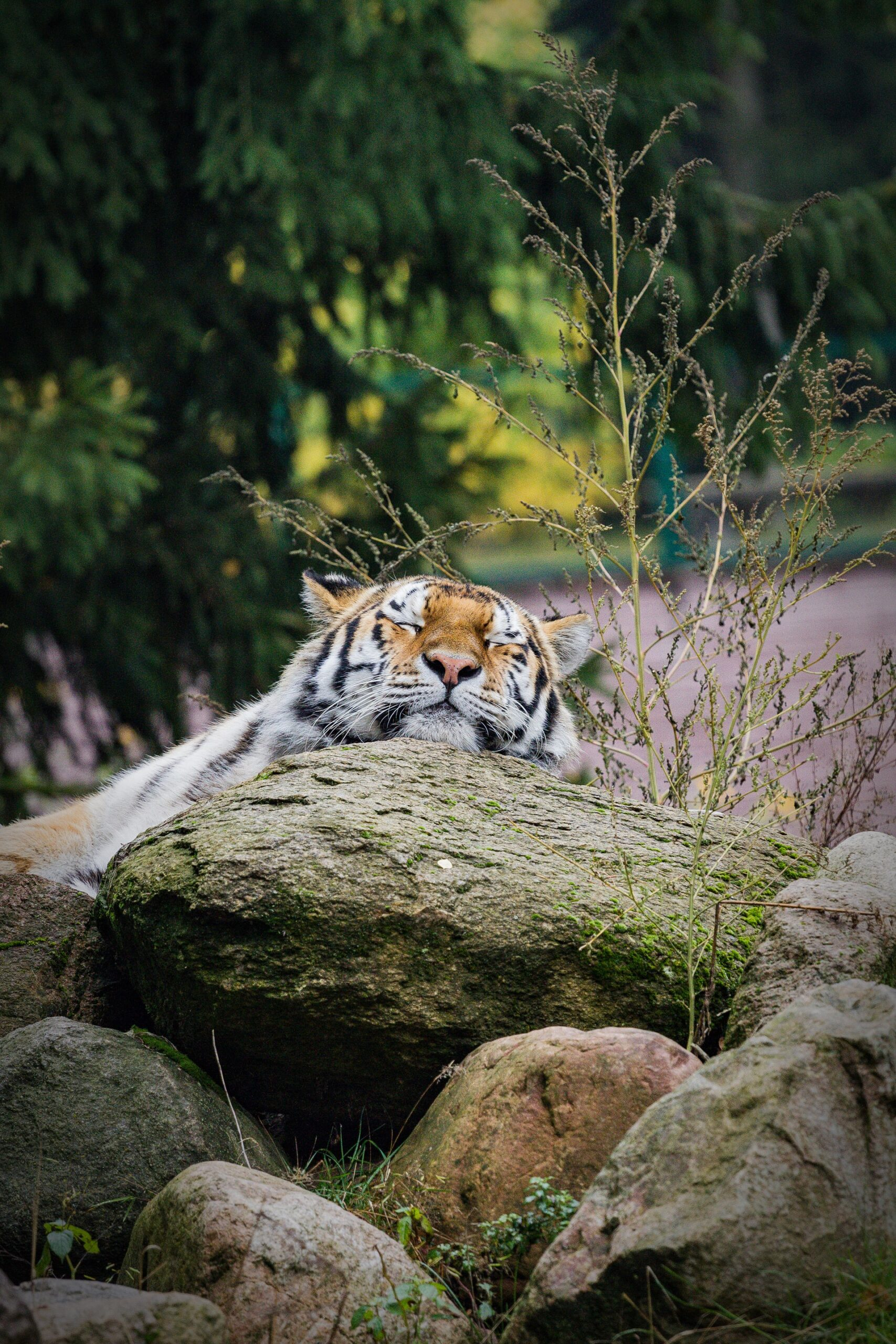 cute tiger scaled